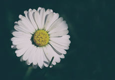 Daisy μια ηλιόλουστη ημέρα Στοκ φωτογραφία με δικαίωμα ελεύθερης χρήσης