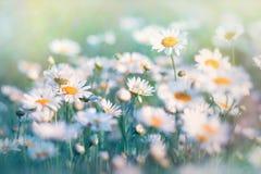 Daisy που φωτίζεται με το φως του ήλιου Στοκ Εικόνες