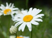 Daisy σε ένα λιβάδι Στοκ φωτογραφίες με δικαίωμα ελεύθερης χρήσης