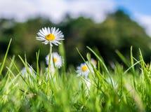 Daisy σε ένα πράσινο λιβάδι Στοκ εικόνες με δικαίωμα ελεύθερης χρήσης