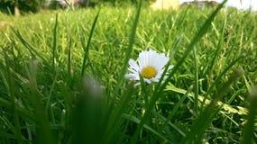 Daisy σε μια μέση ενός πράσινου τομέα στοκ εικόνες