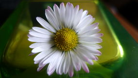 Daisy σε πράσινο Στοκ Εικόνες
