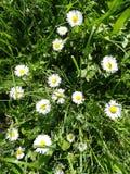 Daisy στη χλόη στοκ φωτογραφίες με δικαίωμα ελεύθερης χρήσης