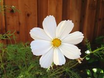 Daisy στον κήπο μου στοκ φωτογραφία με δικαίωμα ελεύθερης χρήσης