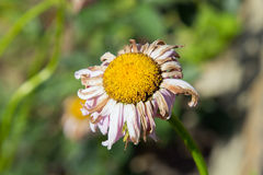 Daisy στον κήπο Στοκ Φωτογραφία
