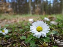 Daisy στον τρόπο Στοκ εικόνες με δικαίωμα ελεύθερης χρήσης