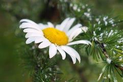 Daisy στους κλάδους κωνοφόρων! Στοκ φωτογραφία με δικαίωμα ελεύθερης χρήσης