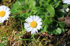Daisy στο λιβάδι Στοκ φωτογραφία με δικαίωμα ελεύθερης χρήσης