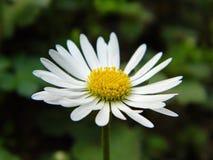 Daisy στο μακρο τρόπο στοκ εικόνες με δικαίωμα ελεύθερης χρήσης