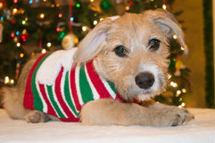 Daisy το κουτάβι Χριστουγέννων Στοκ φωτογραφίες με δικαίωμα ελεύθερης χρήσης