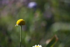 Daisy χωρίς πέταλα Στοκ Φωτογραφίες