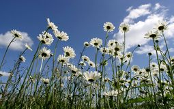 Daisy. Wildflowers along the road stock images