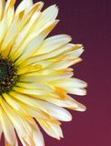 Daisy 1 Royalty Free Stock Photos