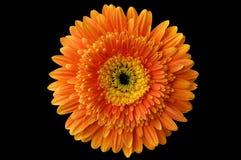 daisy 1 kwiat Obrazy Royalty Free