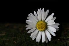 Daisy Stock Foto