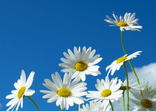 Daisy. A few daisy on the sky in summer day stock photography