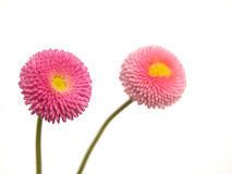 Daisy. Two pink daisies Royalty Free Stock Photos