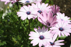 Daisy. Daisies plants in the garden stock image