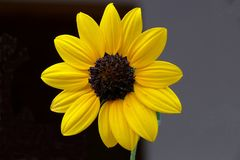 Daisy. The family Asteraceae or Compositae (known as the aster, daisy, or sunflower family) is the second largest family of flowering plants, in terms of number stock photography