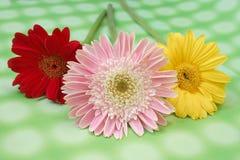 Daisy. Three daisy on green background Stock Photo