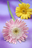 Daisy. Pink & yellow daisy on purple background stock photography
