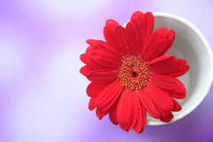Daisy. Red daisy in a white mug stock images