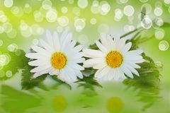 Daisy. Two daisy flowers and fern on bokeh effect royalty free stock images