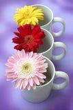 Daisy. Three daisy in three white mugs Royalty Free Stock Photography