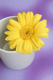 Daisy. Yellow daisy in a white mug Stock Image