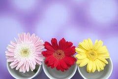 Daisy. Three daisy in three white mugs Stock Image