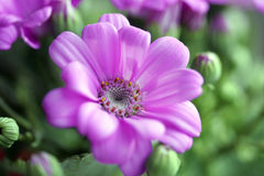 Daisy Royalty Free Stock Images