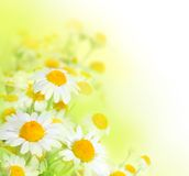 Daisy. Beautiful Chamomile border isolated on white royalty free stock images