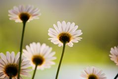 Daisy royalty-vrije stock fotografie