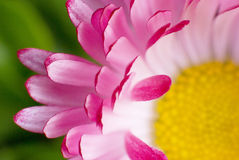 Daisy. Pink flower with green and yellow parts stock photography