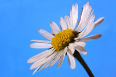 Daisy. Flower white on blue royalty free stock photography