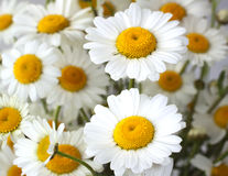 Daisy. Closeup of daisy in a bunch of flowers royalty free stock photo