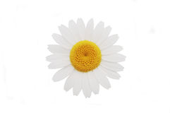 Daisy Royalty Free Stock Photography
