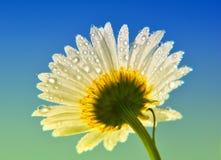 Daisy. Fresh dew wild daisy under the blue sky Royalty Free Stock Photography