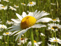 Daisy. Close-up of a common lawn daisy (bellis perennis) in a field of daisies stock photography