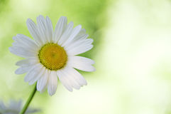 Daisy Stock Photo