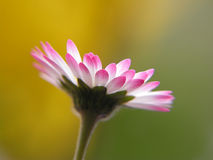 Daisy. On blurred background stock photos