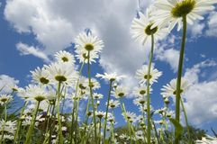 Daisy. Looking up trough daisies into sky with clouds Stock Images