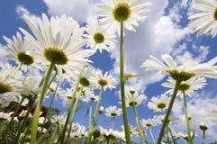daisy zdjęcia stock