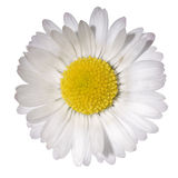 Daisy Royalty Free Stock Photos