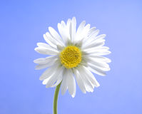 Daisy. Single little daisy isolated over light blue sky Stock Photos