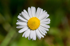 Daisy Flower. Perfect daisy, isolated on a shallow depth of field. There are green grass on the backgorund Stock Photography