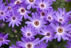 daisy, Zdjęcie Stock