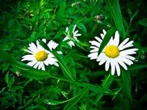 daisy 2 Zdjęcia Royalty Free