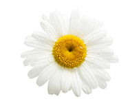 Daisy. Daisy with drops on a white background Royalty Free Stock Images