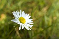 Daisy. Close up shoot on the grass stock image